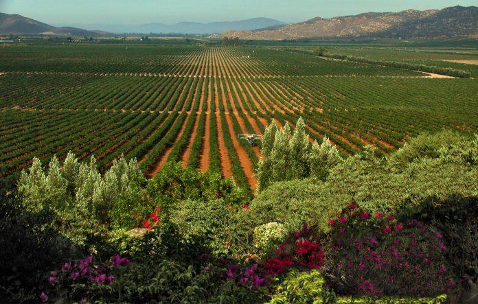 Valle de Guadalupe viñedo