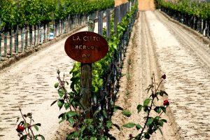 viñedos de Bodegas L.A. CETTO