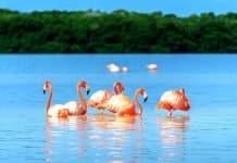 Flamencos rosados Celestun