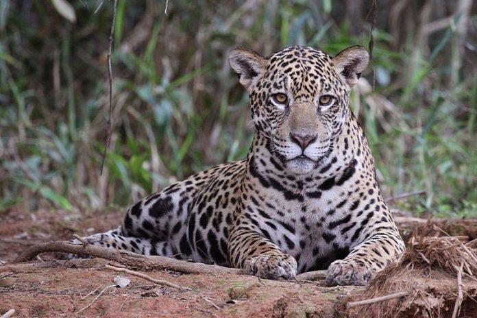 Jaguar Zoológico de Tuxtla