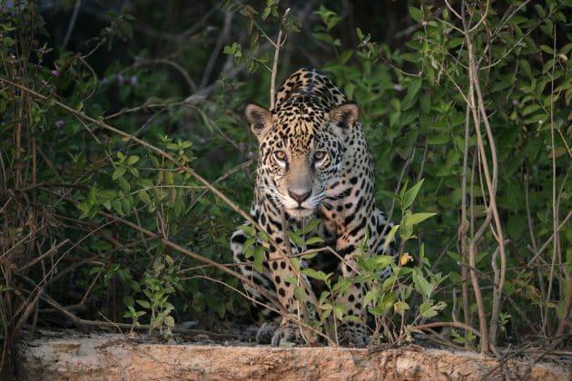 Jaguar Chiapas