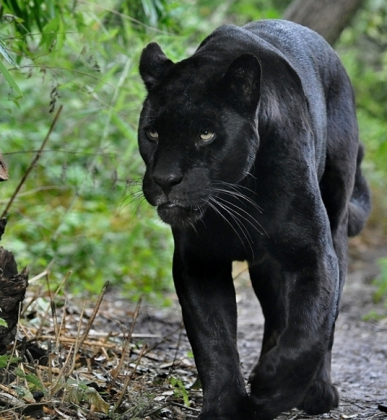 Jaguar Negro Zoológico de Chiapas