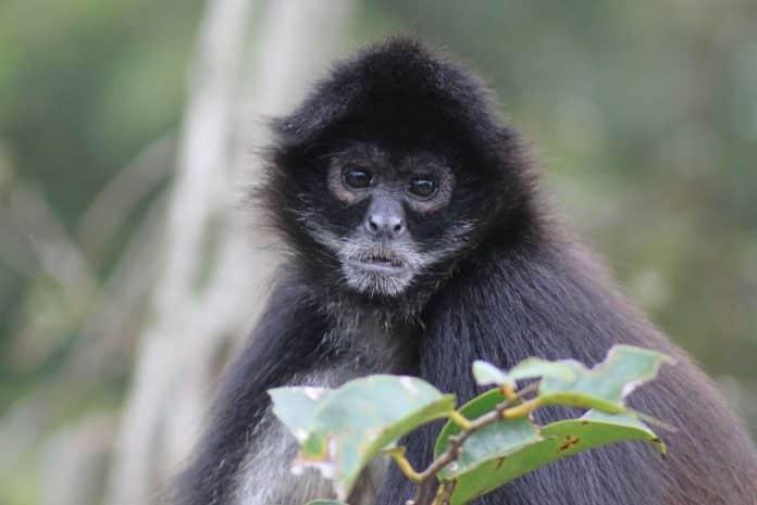 Mono Araña Viaje a Chiapas